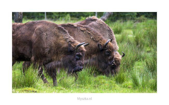 Schotland, Highland Wildlife Park, juli 2019